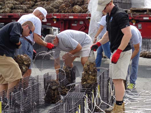 Volunteers make oyster recovery possible