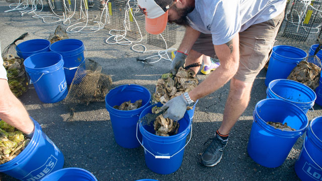 Oysters for the Bay - Oyster Delivery 2014