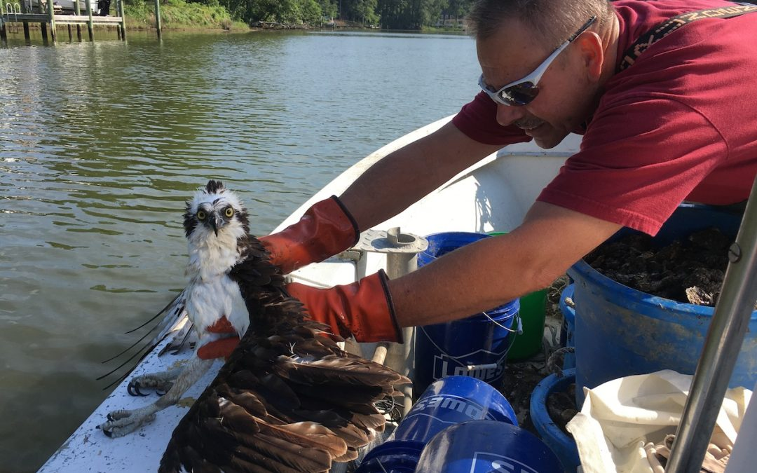 2017 Oyster Pick Up & Osprey Collision!