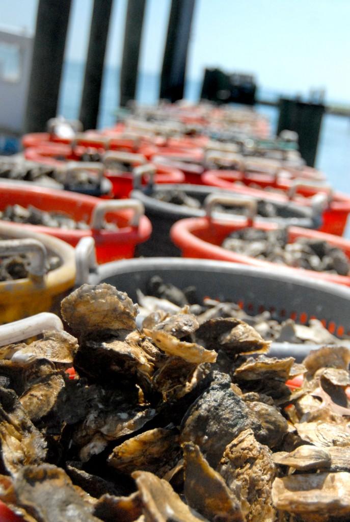 12_news_TIGO-oyster-plant471-687x1024