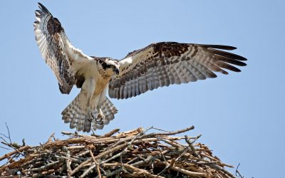 The decline, and revival, of the osprey